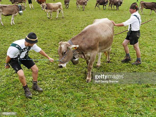 Almabtrieb or Viehscheid is the celebration of the cows returning from the Alps. Man in Lederhosen is taming a young cow at the Viehscheid place.
