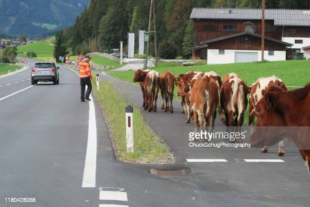 almabtrieb transhumance herder schimpft kuh - almabtrieb stock-fotos und bilder