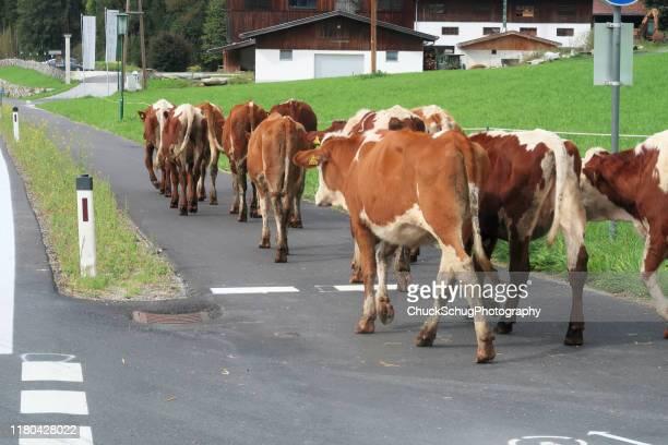almabtrieb transhumance tirol bavaria village kuhherde - almabtrieb stock-fotos und bilder