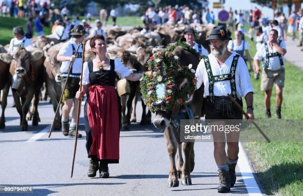 Almabtrieb Viehscheid in Maierhoefen im Allgaeu Ein Bauer mit einer geschmueckten Kuh sie traegt Kraenze aus Bergblunen Silberdisteln und Kraeutern...