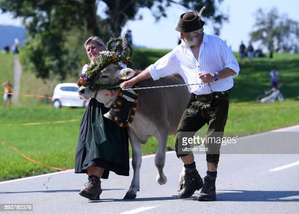 Almabtrieb Viehscheid in Maierhoefen im Allgaeu Ein Bauer und Baeuerin mit einer launischen Kuh sie traegt Kraenze aus Bergblunen Silberdisteln und...