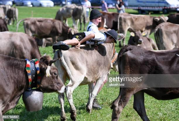 Almabtrieb Viehscheid in Maierhoefen im Allgaeu Junghirte Patrick Bechter versucht beim Viehscheid auf seiner Lieblingskuh Namens Schlawiner zu...