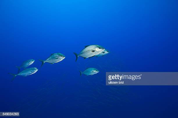 Almaco Amberjacks Seriola rivoliana Azores Princess Alice Bank Atlantic Ocean Portugal