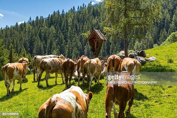 Almauftrieb in den Alpen