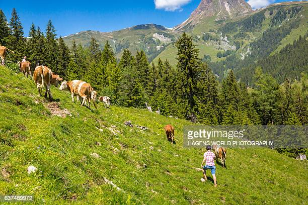 almauftrieb in den alpen - almabtrieb stock-fotos und bilder
