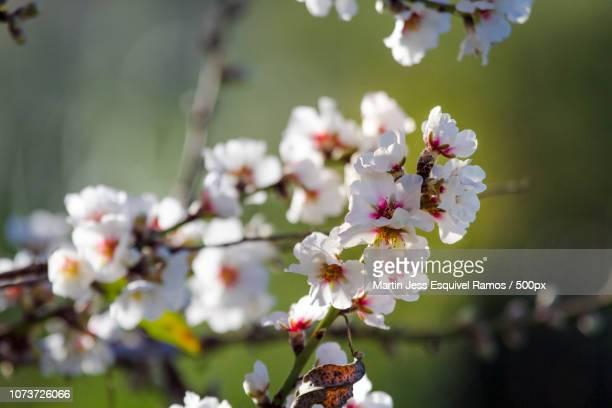 Almendro en flor 3