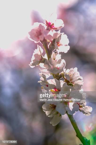 Almendro en flor 5
