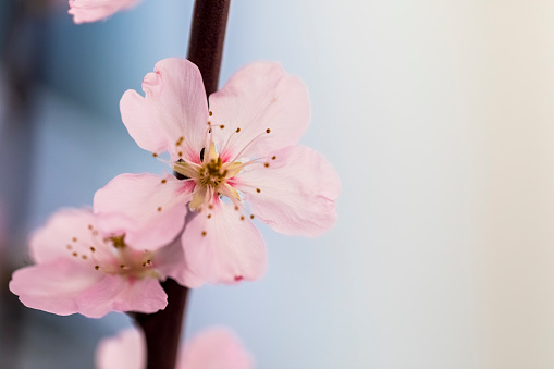 Almond blossom blooming, spring. - gettyimageskorea