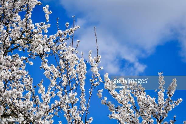 Almond blossom branches against a blue clouded sky