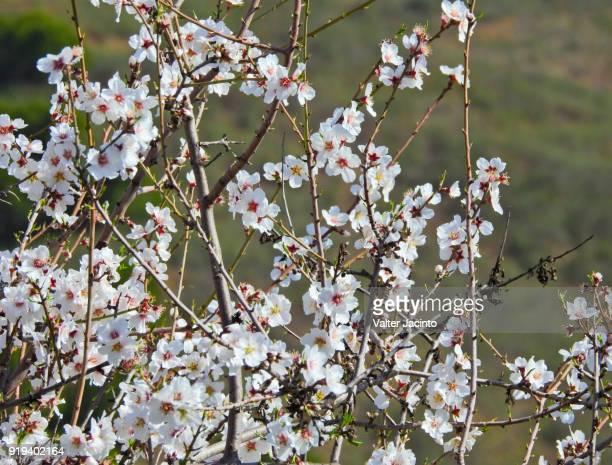 almond blossom in algarve, portugal - almendro fotografías e imágenes de stock