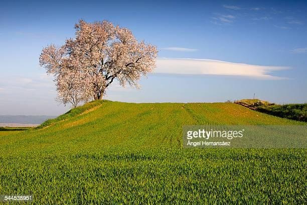 Almond Blossom in field