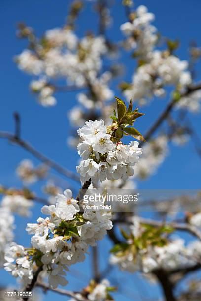 almond blossom in Puglia