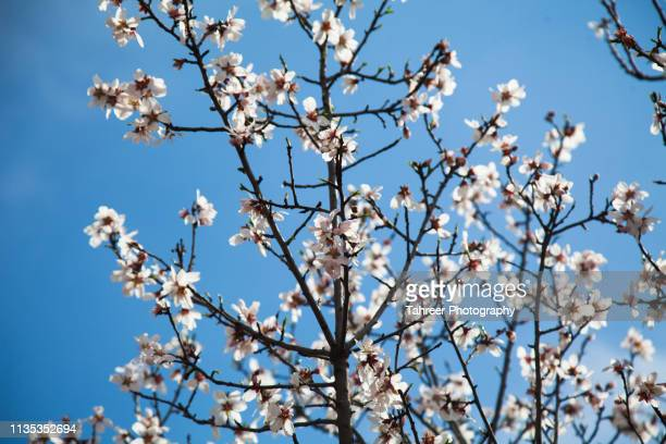 almond blossom in spring - almond stock pictures, royalty-free photos & images