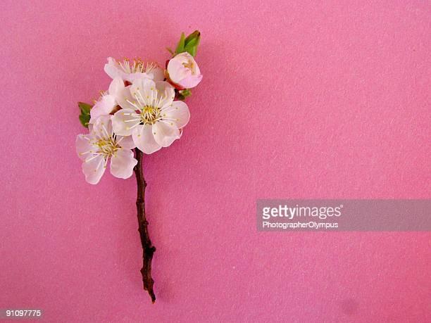 Almond flor sobre fondo rosa