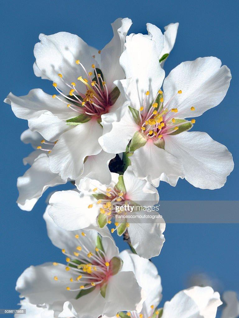 Almond blossom : Stock Photo
