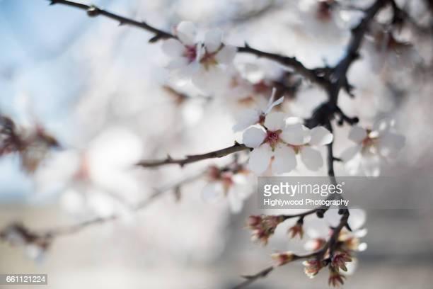 almond blossom - highlywood fotografías e imágenes de stock