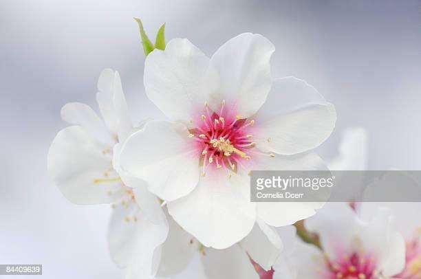 Almond blossom (Prunus triloba)