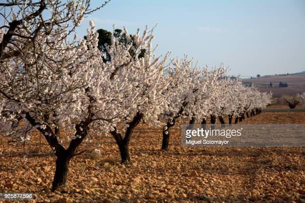 almond blossom - almendro fotografías e imágenes de stock