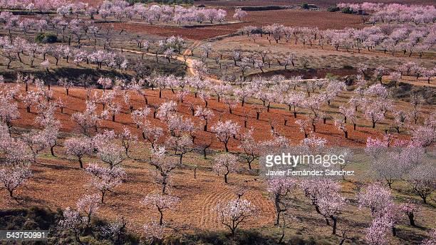 Almond blossom, springtime