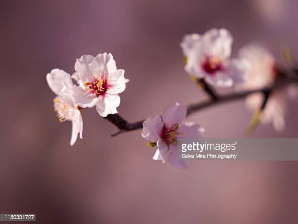 almond blossoms - almendro fotografías e imágenes de stock