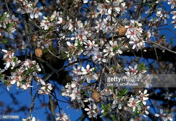 Almond blossoms Rosaceae