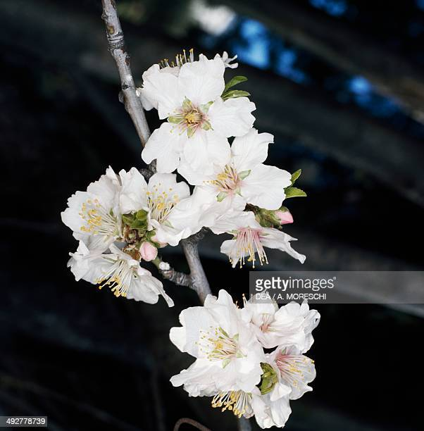 Almond blossoms Rosaceae