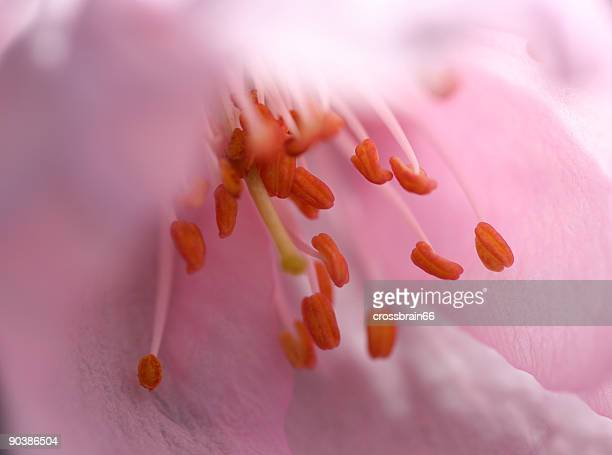 almond flower closeup