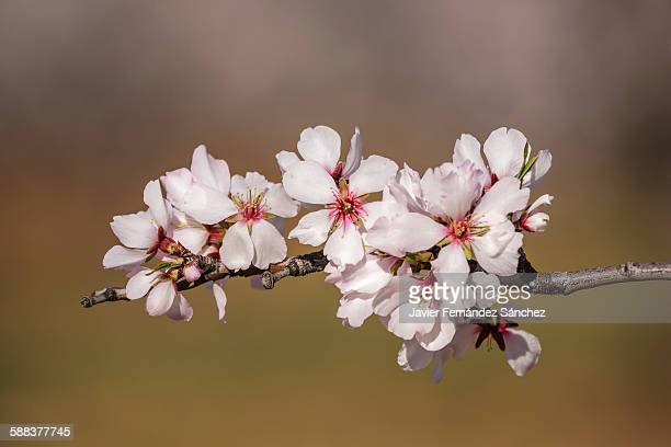 Almond flowers. La Rioja. Spain.