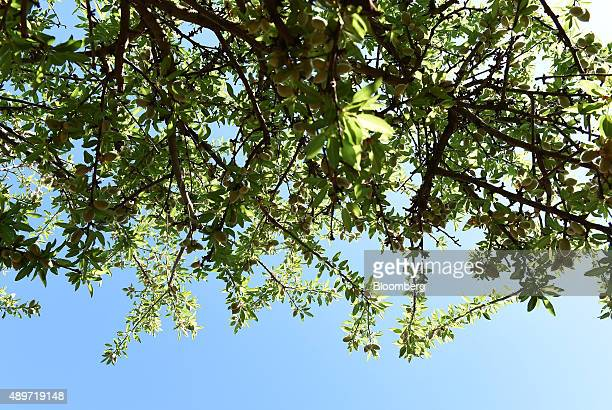 Almond fruit grows on an almond tree at a Select Harvest Ltd farm near Wemen Victoria Australia on Wednesday Sept 23 2015 Bees responsible for an...
