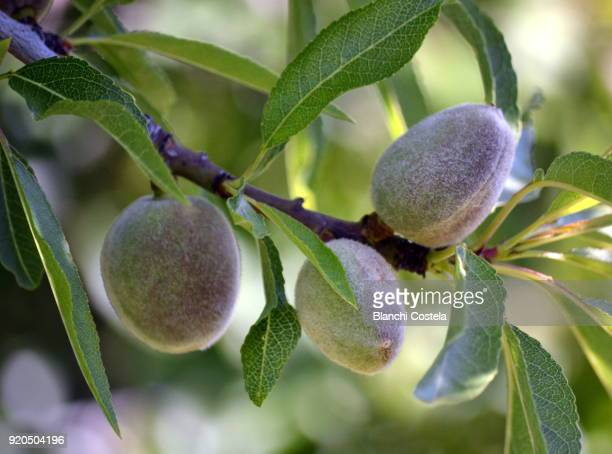 Almond fruits on the tree