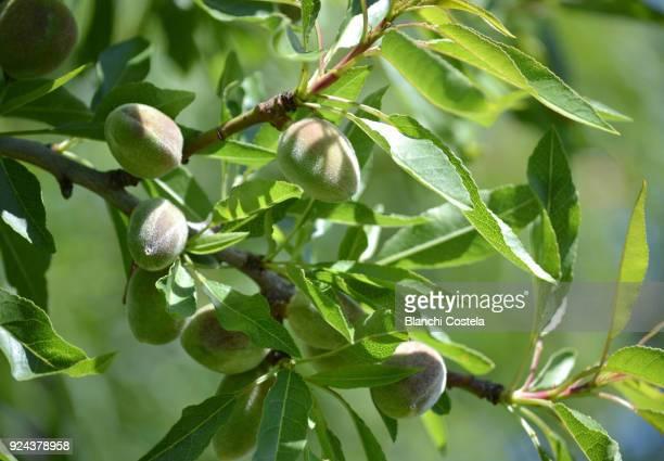almond fruits on the tree - almendro fotografías e imágenes de stock