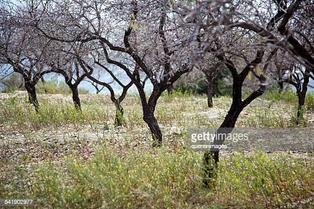 Almond Grove Andalucia, Spain
