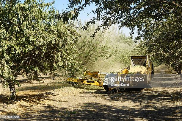 Almond Harvest process of Shaking Nuts Off Trees