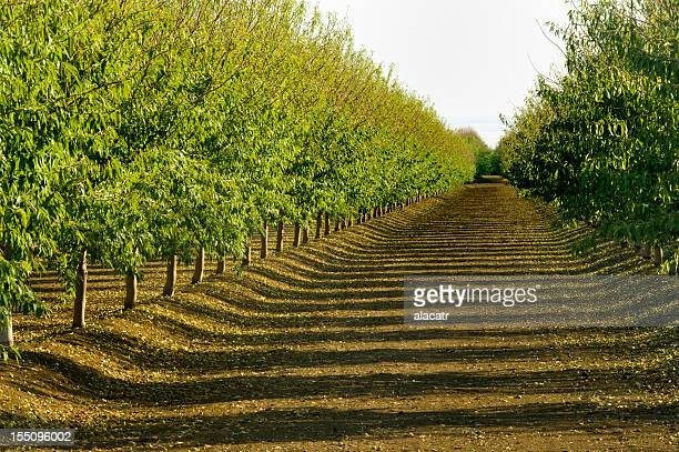 almond orchard, central valley, california - orchard stockfoto's en -beelden