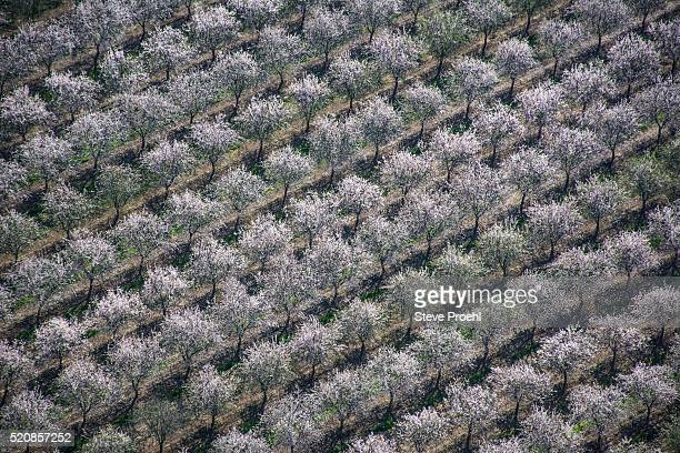 almond orchard - almendro fotografías e imágenes de stock