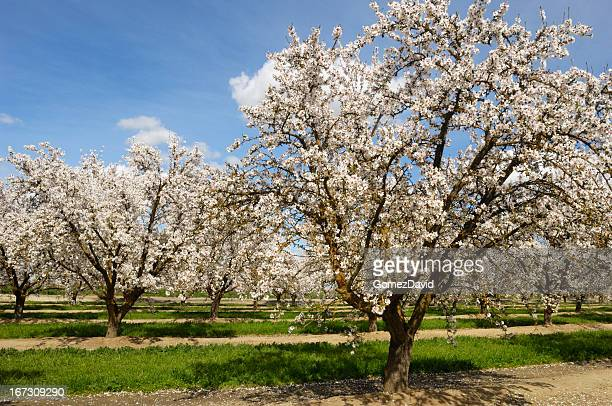Almond Orchard with Blossoms on it