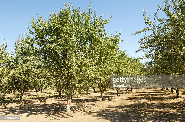 Almond Orchard With Fruit on Trees