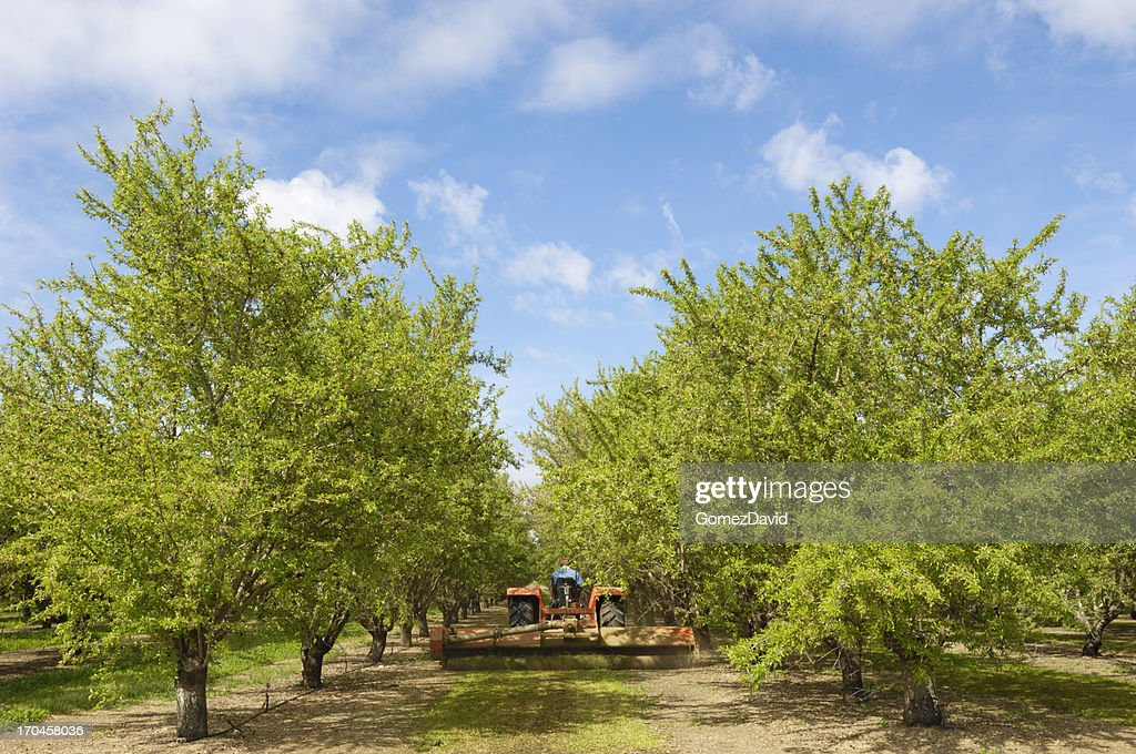 Almond Orchard With Ripening Fruit on Trees : Stock Photo