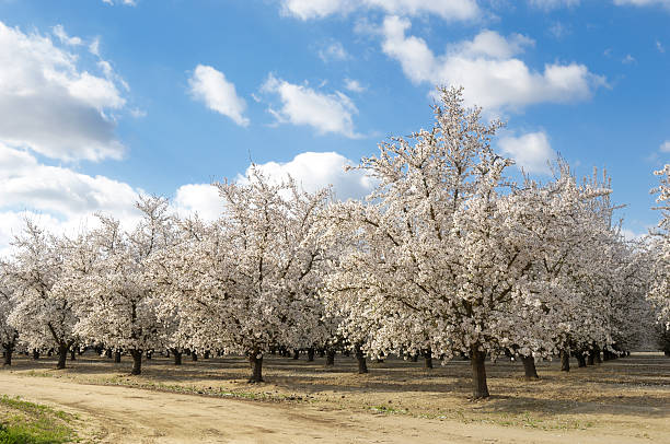 Almond Orchard With Springtime Blossoms Wall Art