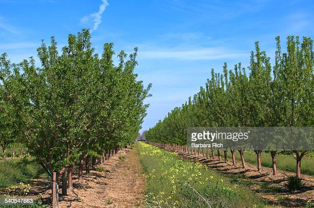 Almond orchard with yellow mustard bloom