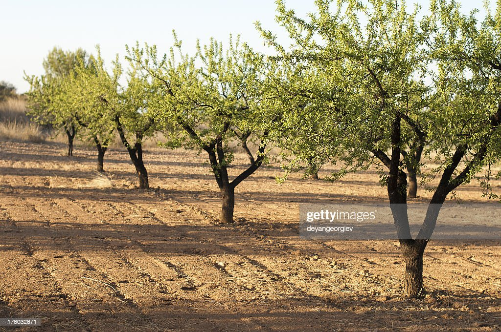 Almond plantation trees : Stock Photo