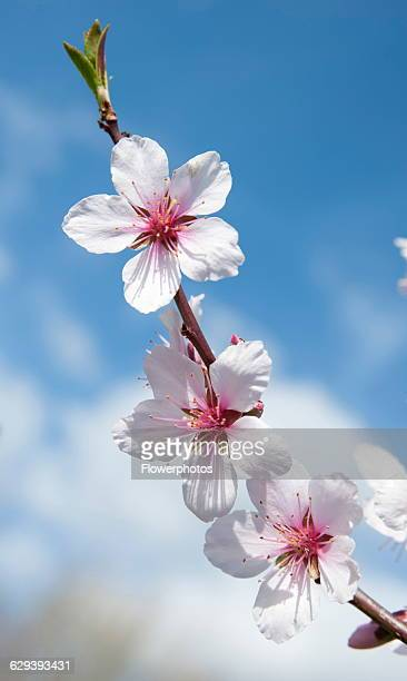 Almond Prunus dulcis blossom One twig with three white flowers with pink stamens against blue sky