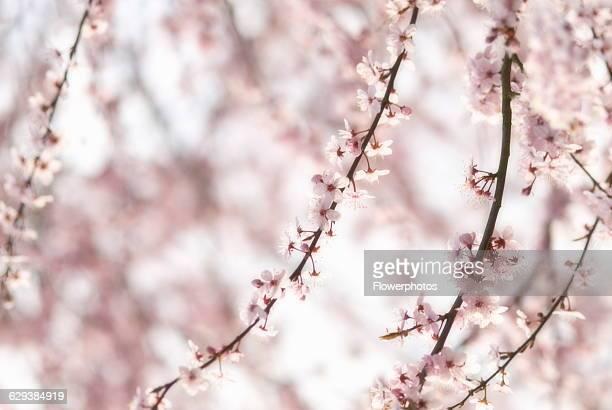 Almond Prunus dulcis