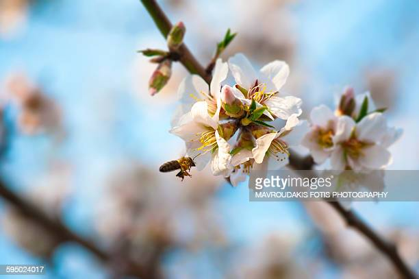 Almond tree and flying bee