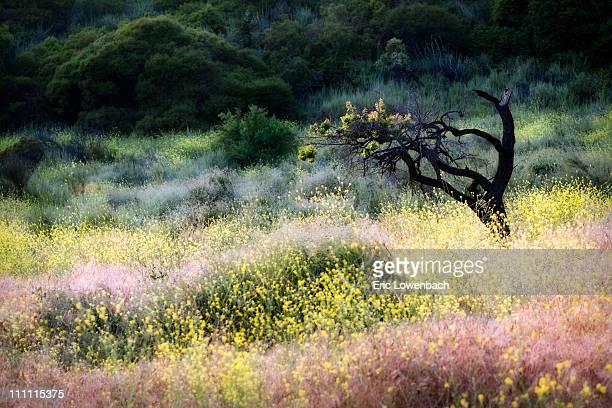 Almond Tree and Wild Mustard