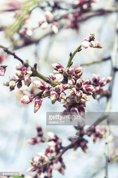 Almond tree blossom in spring