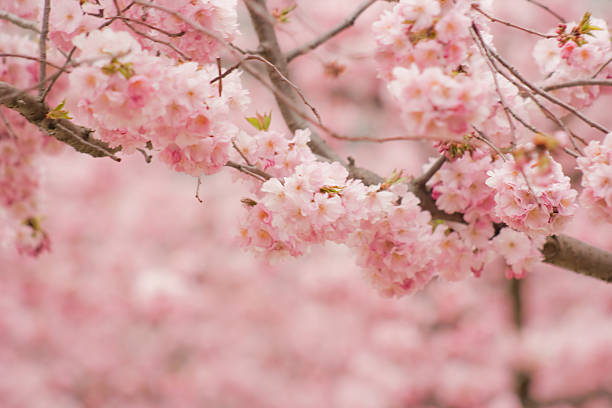 Almond Tree Blossomed In Spring With Bokeh. Wall Art