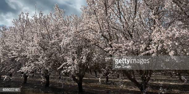 almond tree blossoms - don smith ストックフォトと画像