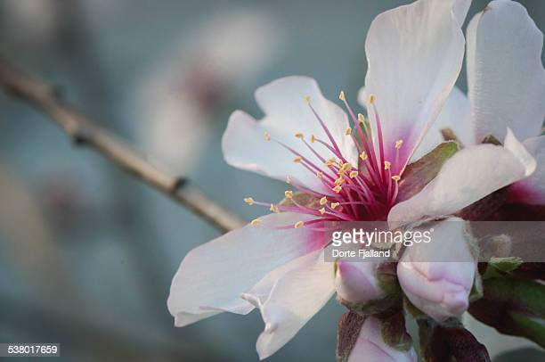 Almond tree blossum