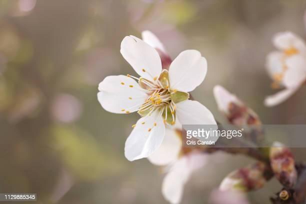 almond tree flower - cris cantón photography fotografías e imágenes de stock